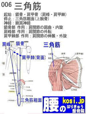 三角筋、福岡太宰府、ぎっくり腰【腰痛専門】腰のはりきゅう整骨院