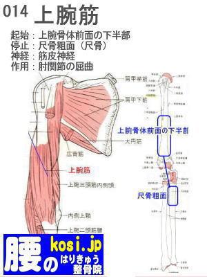 上腕筋、福岡太宰府、ぎっくり腰【腰痛専門】腰のはりきゅう整骨院