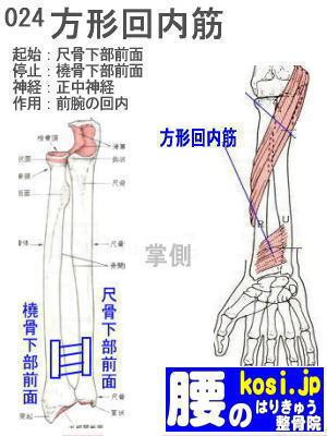 方形回内筋、福岡太宰府、ぎっくり腰【腰痛専門】腰のはりきゅう整骨院