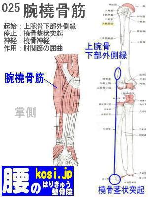 腕橈骨筋、ぎっくり腰【腰痛専門】腰のはりきゅう整骨院、福岡太宰府