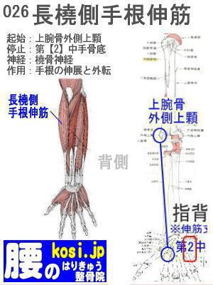 長橈側手根伸筋、ぎっくり腰【腰痛専門】腰のはりきゅう整骨院