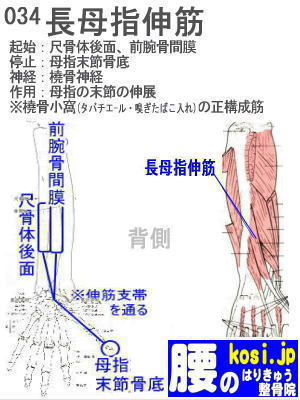 長母指伸筋(手)、ぎっくり腰【腰痛専門】腰のはりきゅう整骨院