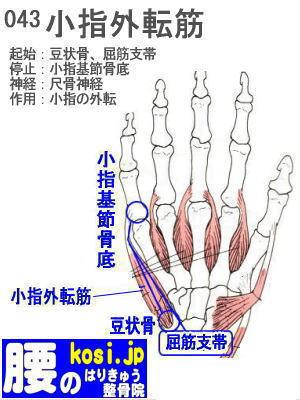 小指外転筋(手)、咬筋、ぎっくり腰【腰痛専門】腰のはりきゅう整骨院