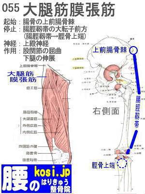 大腿筋膜張筋、ぎっくり腰【腰痛専門】腰のはりきゅう整骨院