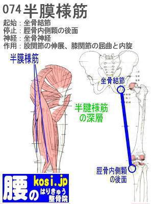 半膜様筋、ぎっくり腰【腰痛専門】腰のはりきゅう整骨院