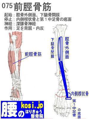 前脛骨筋、ぎっくり腰【腰痛専門】腰のはりきゅう整骨院
