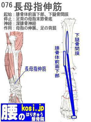 長母指伸筋(足)、ぎっくり腰【腰痛専門】腰のはりきゅう整骨院