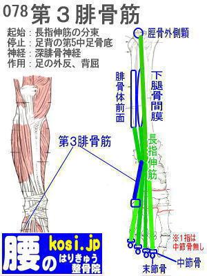 第3腓骨筋、ぎっくり腰【腰痛専門】腰のはりきゅう整骨院