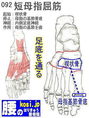 短母指屈筋(足)、ぎっくり腰【腰痛専門】腰のはりきゅう整骨院、福岡太宰府
