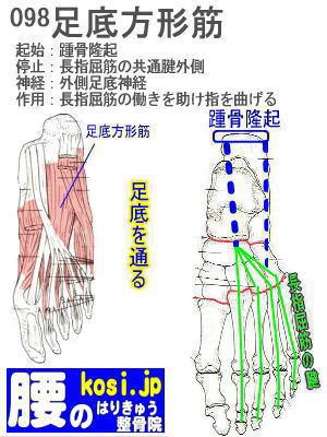 足底方形筋、ぎっくり腰【腰痛専門】腰のはりきゅう整骨院
