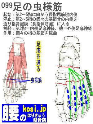 虫様筋(足)、ぎっくり腰【腰痛専門】腰のはりきゅう整骨院
