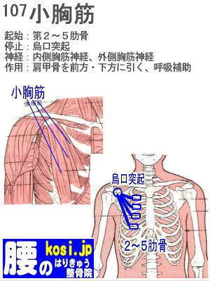小胸筋、ぎっくり腰【腰痛専門】腰のはりきゅう整骨院