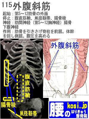 外腹斜筋、福岡太宰府、ぎっくり腰【腰痛専門】腰のはりきゅう整骨院
