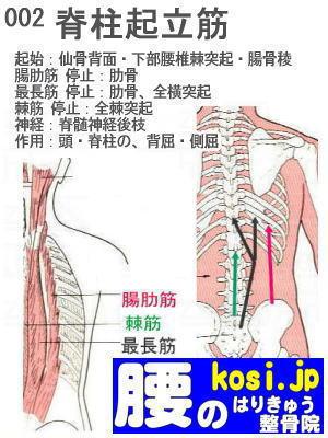 脊柱起立筋、ぎっくり腰【腰痛専門】腰のはりきゅう整骨院、福岡太宰府