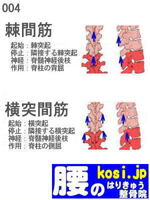 横突間筋、棘間筋、福岡太宰府、ぎっくり腰【腰痛専門】腰のはりきゅう整骨院