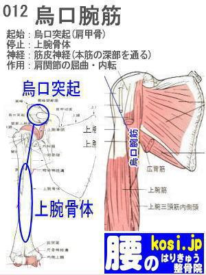 烏口腕筋、福岡 太宰府、ぎっくり腰【腰痛専門】こしの鍼灸整骨院