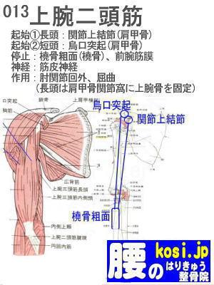 上腕二頭筋、ぎっくり腰【腰痛専門】腰のはりきゅう整骨院、福岡太宰府