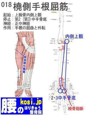 橈側手根屈筋、福岡 太宰府、ぎっくり腰【腰痛専門】こしの鍼灸整骨院
