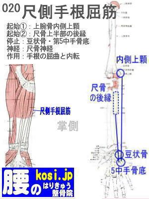 尺側手根屈筋、福岡 太宰府、ぎっくり腰【腰痛専門】こしの鍼灸整骨院