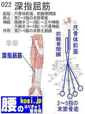 深指屈筋、福岡 太宰府、ぎっくり腰【腰痛専門】こしの鍼灸整骨院