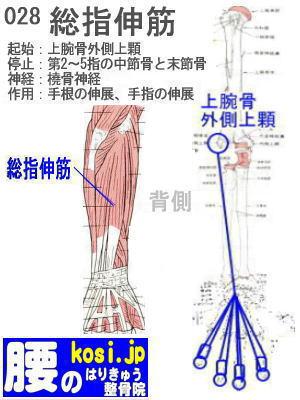 総指伸筋、福岡 太宰府、ぎっくり腰【腰痛専門】こしの鍼灸整骨院