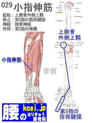 小指伸筋、ぎっくり腰【腰痛専門】腰のはりきゅう整骨院、福岡太宰府