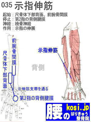 示指伸筋、ぎっくり腰【腰痛専門】腰のはりきゅう整骨院、福岡太宰府