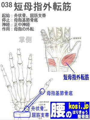 短母指外転筋、ぎっくり腰【腰痛専門】腰のはりきゅう整骨院、福岡太宰府