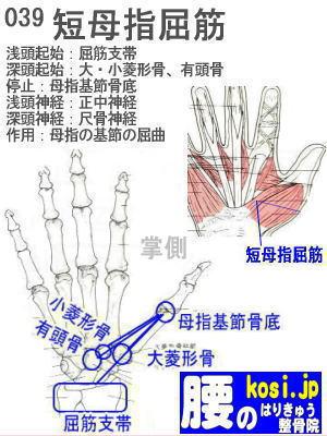 短母指屈筋(手)、福岡太宰府、ぎっくり腰【腰痛専門】腰のはりきゅう整骨院
