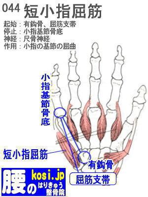 短小指屈筋(手)、福岡 太宰府、ぎっくり腰【腰痛専門】こしの鍼灸整骨院