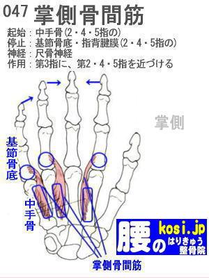 掌側骨間筋、ぎっくり腰【腰痛専門】腰のはりきゅう整骨院、福岡太宰府