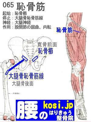 恥骨筋、ぎっくり腰【腰痛専門】腰のはりきゅう整骨院、福岡太宰府