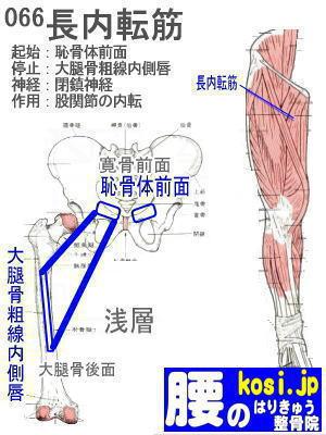 長内転筋、福岡 太宰府、ぎっくり腰【腰痛専門】こしの鍼灸整骨院