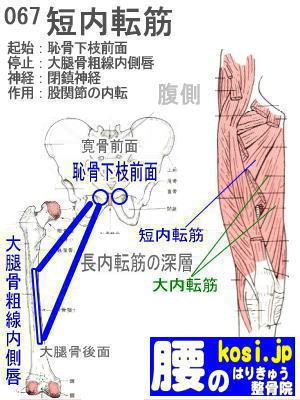 短内転筋、ぎっくり腰【腰痛専門】腰のはりきゅう整骨院、福岡太宰府