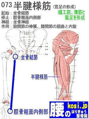 半腱様筋、福岡太宰府、ぎっくり腰【腰痛専門】腰のはりきゅう整骨院