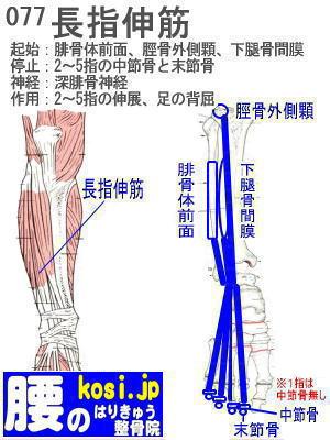 長指伸筋、福岡太宰府、ぎっくり腰【腰痛専門】腰のはりきゅう整骨院