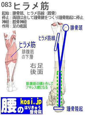 ヒラメ筋、福岡太宰府、ぎっくり腰【腰痛専門】腰のはりきゅう整骨院