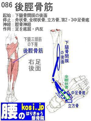 後脛骨筋、ぎっくり腰【腰痛専門】腰のはりきゅう整骨院、福岡太宰府
