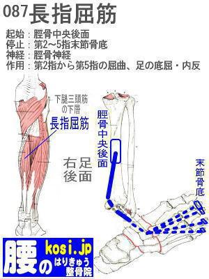 長指屈筋、福岡太宰府、ぎっくり腰【腰痛専門】腰のはりきゅう整骨院