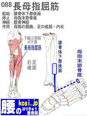 長母指屈筋(足)、ぎっくり腰【腰痛専門】腰のはりきゅう整骨院、福岡太宰府