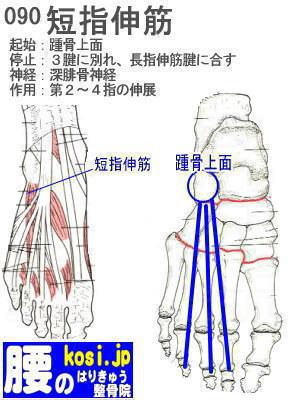 短指伸筋、ぎっくり腰【腰痛専門】腰のはりきゅう整骨院、福岡太宰府