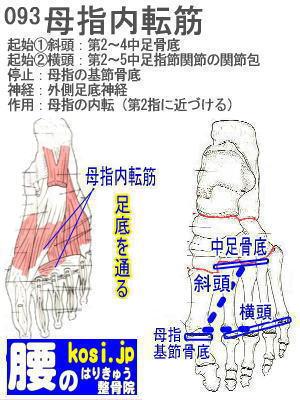 母指内転筋(足)、福岡 太宰府、ぎっくり腰【腰痛専門】こしの鍼灸整骨院
