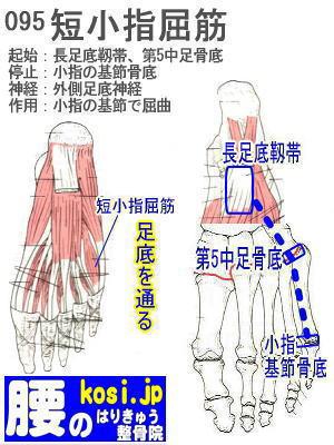 短小指屈筋(足)、ぎっくり腰【腰痛専門】腰のはりきゅう整骨院、福岡太宰府