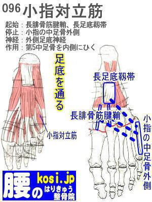 小指対立筋(足)、福岡太宰府、ぎっくり腰【腰痛専門】腰のはりきゅう整骨院