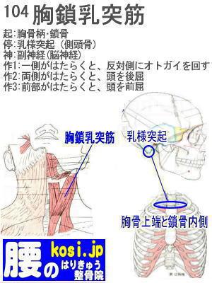 胸鎖乳突筋、福岡太宰府、ぎっくり腰【腰痛専門】腰のはりきゅう整骨院