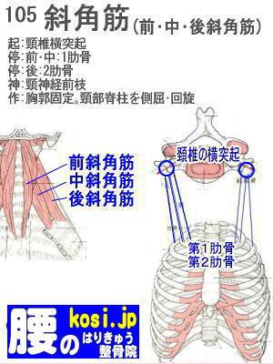 中斜角筋、福岡 太宰府、ぎっくり腰【腰痛専門】こしの鍼灸整骨院