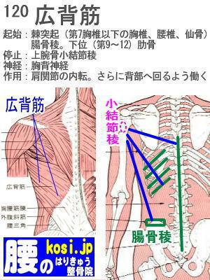 広背筋、ぎっくり腰【腰痛専門】腰のはりきゅう整骨院、福岡太宰府