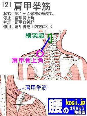肩甲挙筋、福岡太宰府、ぎっくり腰【腰痛専門】腰のはりきゅう整骨院
